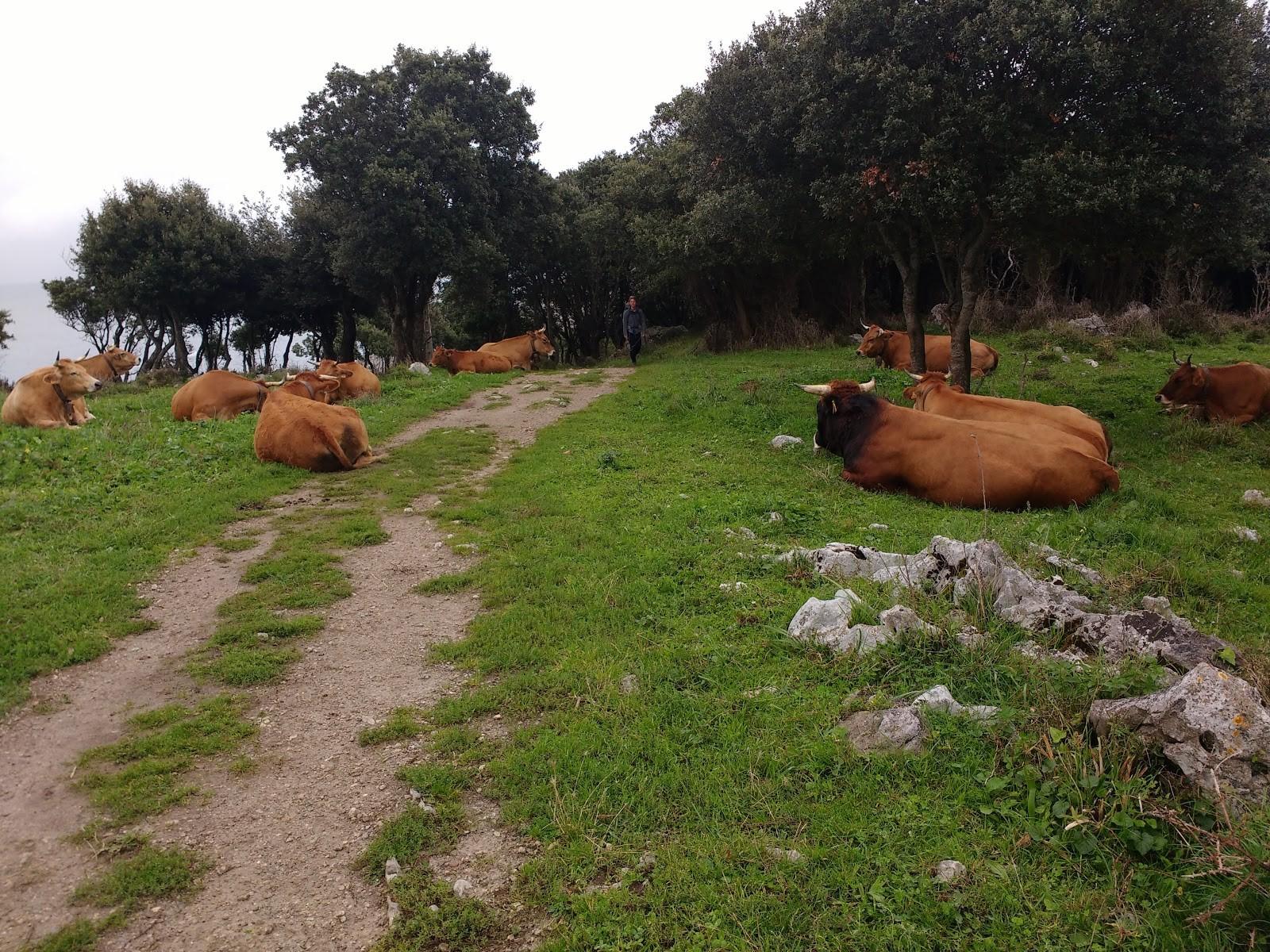 Vacas en el viaje